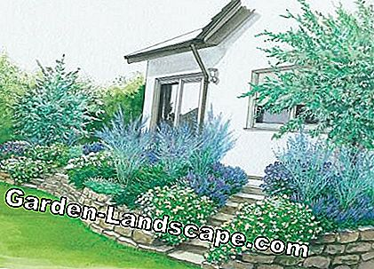blue white ornamental shrubs