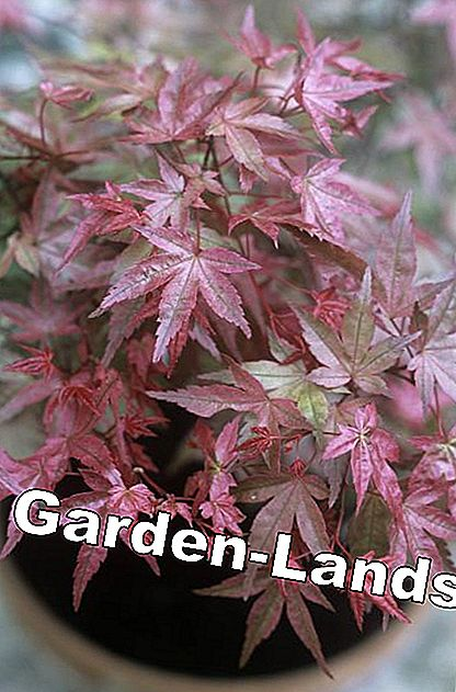 Japanese maple in tub