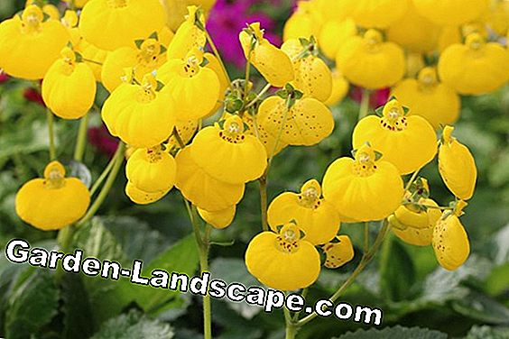 Slipper flower - Calceolaria