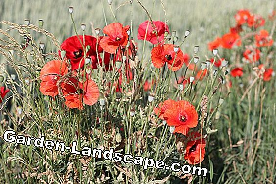 Corn poppy - Papaver rhoeas