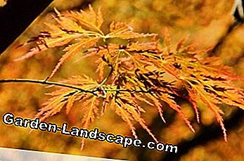 Other Acer Palmatum Varieties Care And Cutting 2019