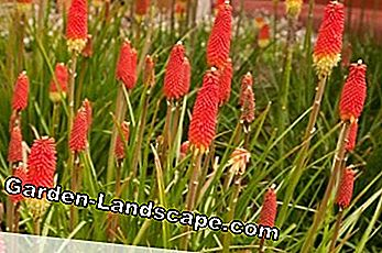 Torch lilies are perennials for sheltered locations