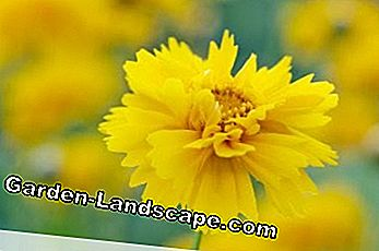 Girl's Eye, Coreopsis - Care Tips og dvalemodus