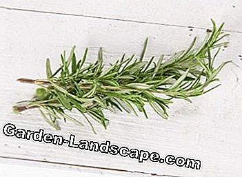 Rosemary harvested