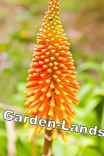 Torch lilies, Kniphofia - plants and care tips