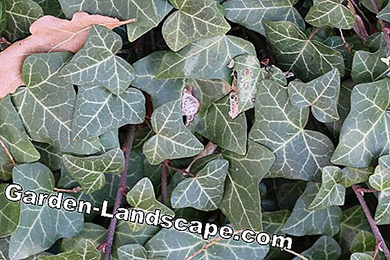 Climbing ivy - Hedera helix