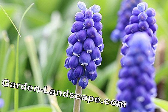 Grape hyacinths - Muscari