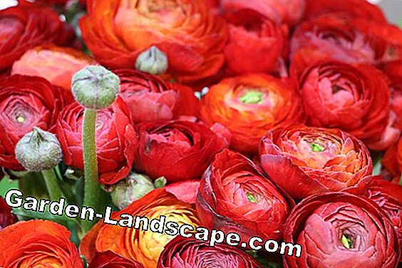 Ranunculus plant - cultivation and care of A-Z: plant