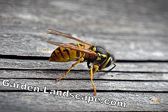 Wasp destruction: Use home remedies & baits: home