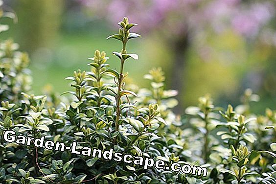 Is Buxus giftig voor mens en dier?: dier