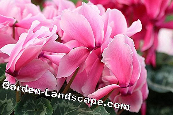 Cyclamen in wintertips: bladeren