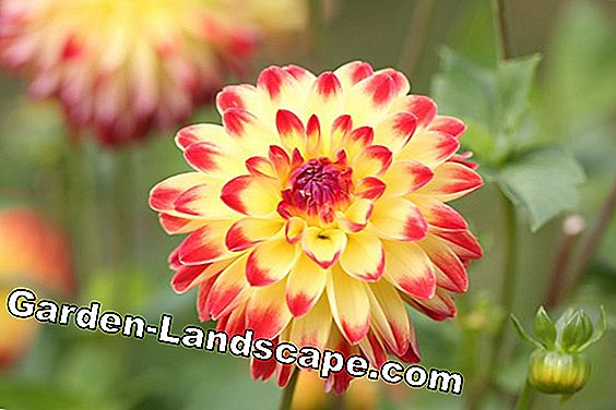 decorative dahlia - Dahlia hortensis
