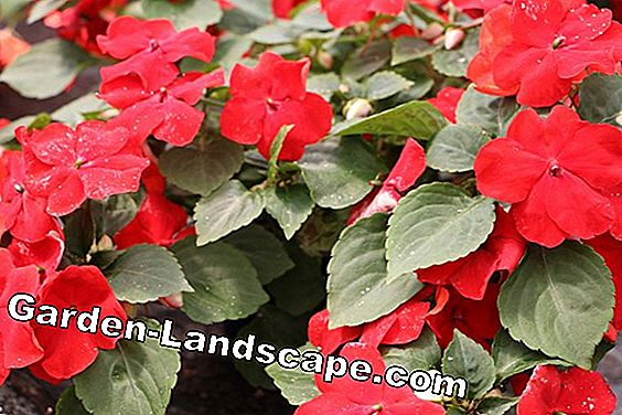 industrious lees impatiens walleriana 4451