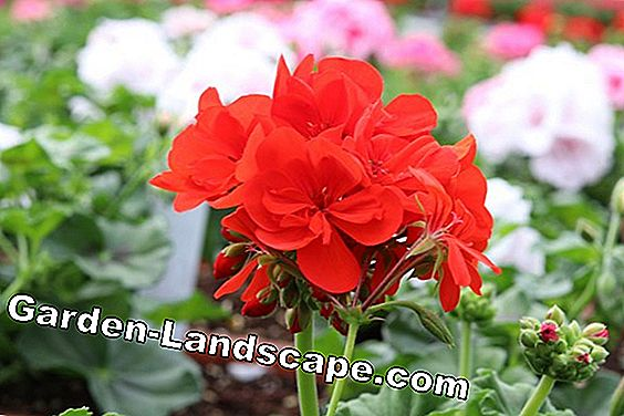 Geraniums overwinter - care in winter: overwinter