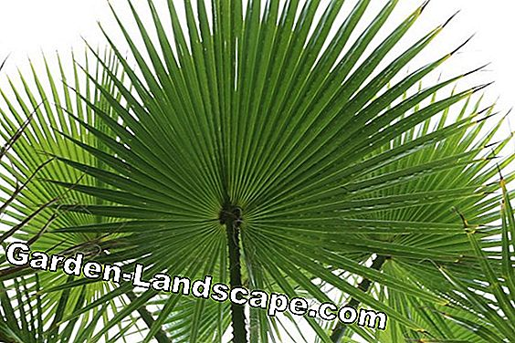 Telapak tangan California Washington - Washingtonia filifera