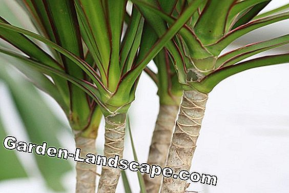 Dragon Tree - dracaena deremensis