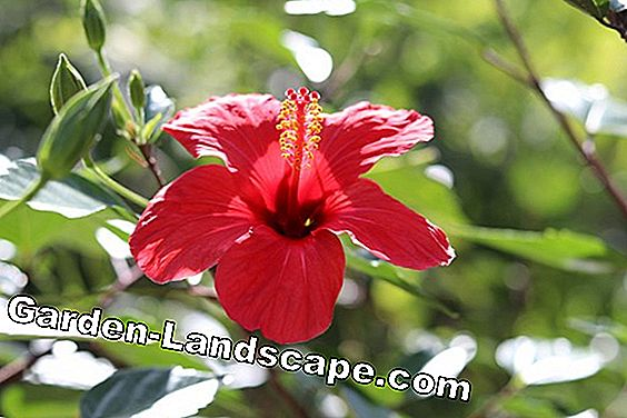 Hibiscus hibernate - so he survives the winter - 7 tips: hibiscus