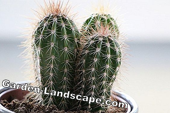 Winter hardy cacti and cacti overwinter and maintain: winter