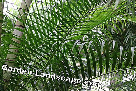 Areca palm - Dypsis lutescens - gouden fruitpalm