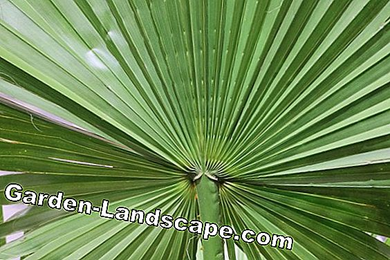Washingtonia robusta - Mexicaanse palm van Washington
