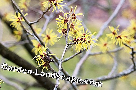 Witch hazel - Hamamelis intermedia