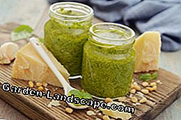 Mangold pesto is prepared at lightning speed