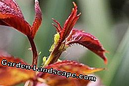 Aphids - All about the aphid control: aphids
