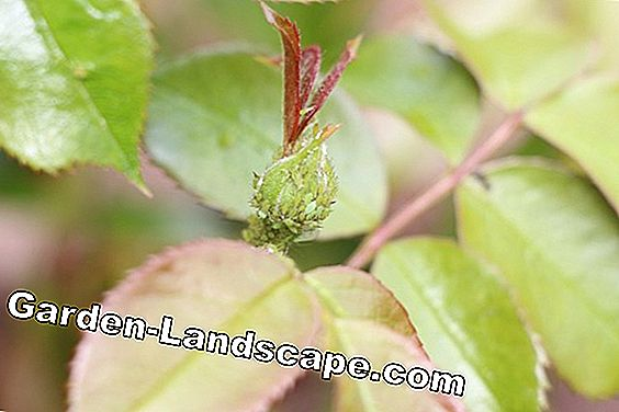 green aphids on a rose plant