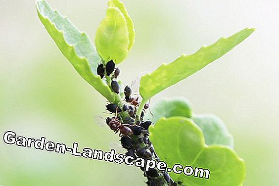 black aphids and ants