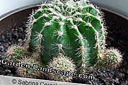 Cactus in de pot