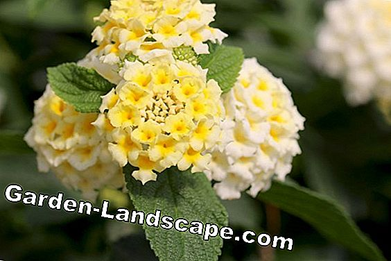 Lantana camara - Lantana camara - location, care and propagation: plant