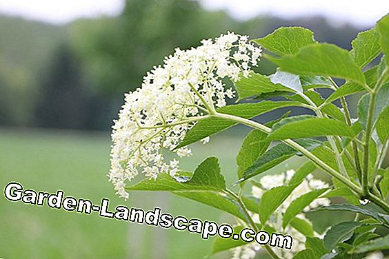 black elder flowers