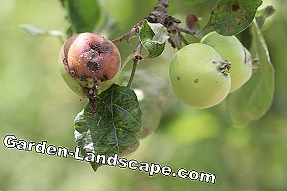 Apple - malus ziek