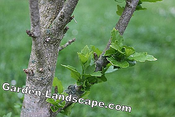 Garteneibisch / hibiscus does not bloom - causes + special care: causes