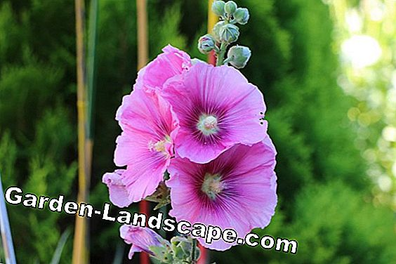 Hollyhocks - Alcea rosea
