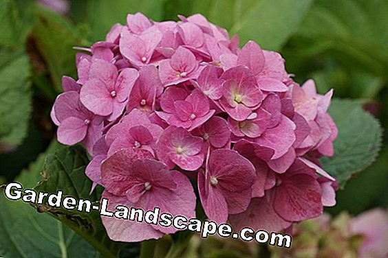 Make hydrangea fertilizer yourself - composition