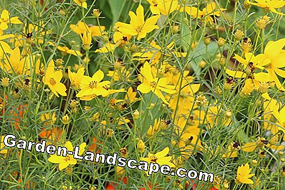 Girl's Eye - Coreopsis