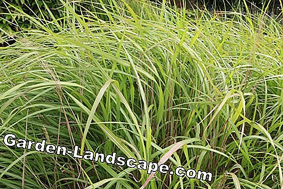 Miscanthus Chinois - Miscanthus purpurascens