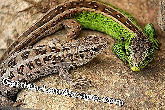 Domestic lizards in the garden: profile, habitat and food: lizards