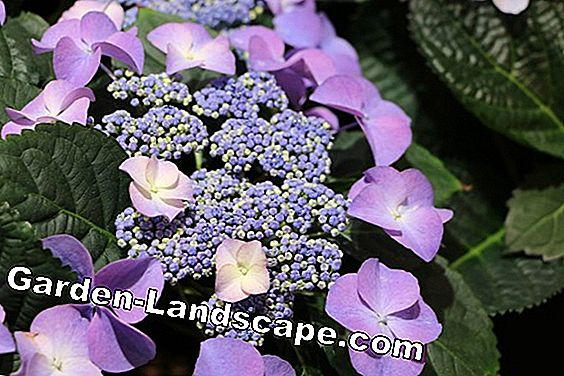 Plate Hydrangeas - care and cutting