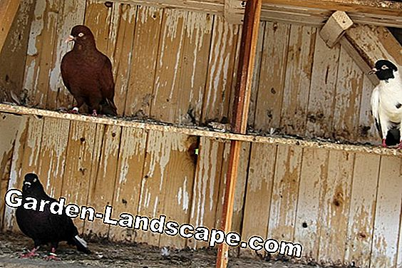 Pigeon dung as fertilizer - so fertilize with pigeon droppings: fertilize