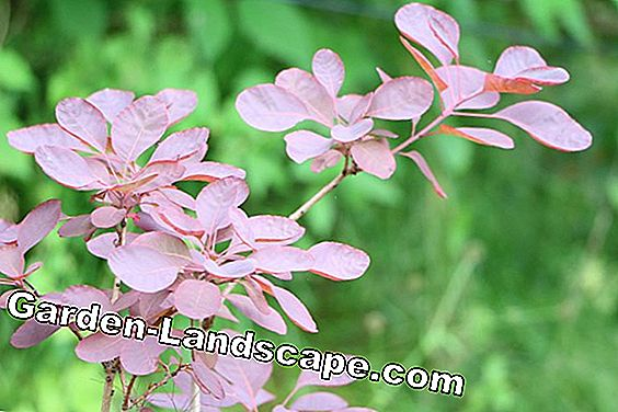 rode pruik - Cotinus coggygria - 'Royal Purple'