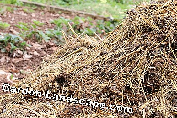Horse manure, cow dung as fertilizer: dung