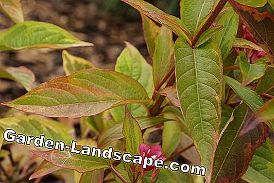 Weigela florida - Weigelie
