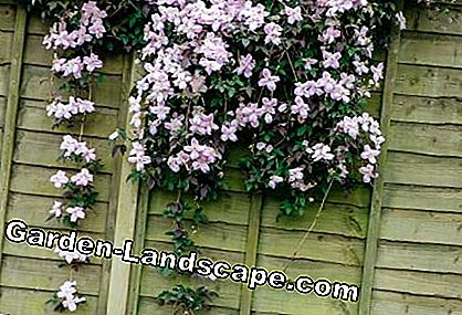 Clematis is overhanging a wall