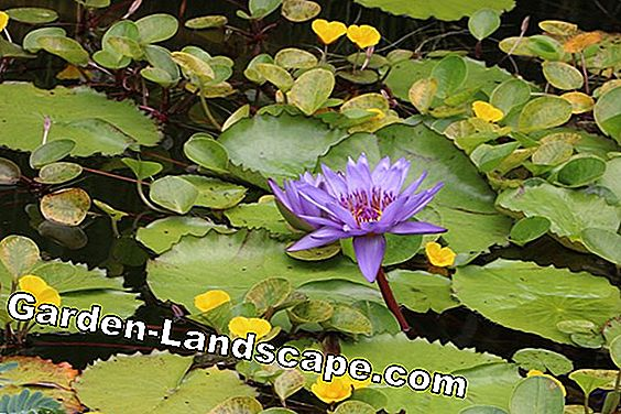 Plants in miniature pond - 10 ideas for planting: plants