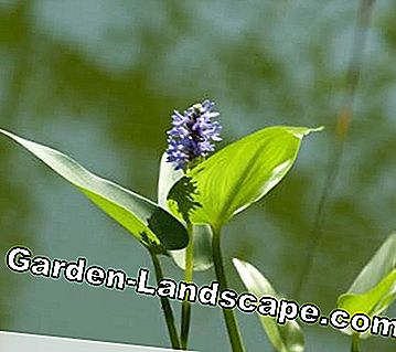 Pickerel wiet plant