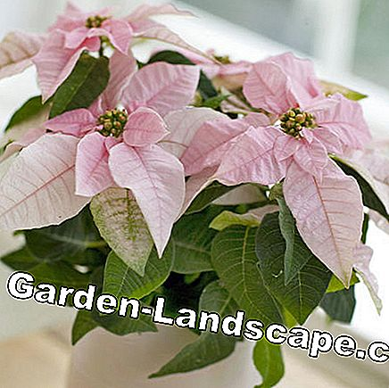 Poinsettia with pink colored bracts