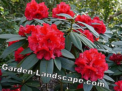 Alpenrose rododendrs