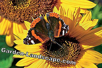 Red admiral on a sunflower